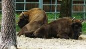 goluchow_bison_bonasus