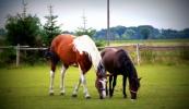 konie-048