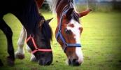 konie-091