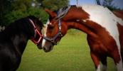 konie-102