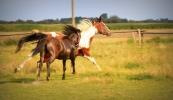 konie-237